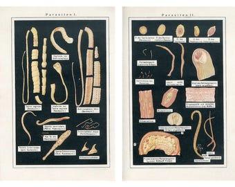 2x  c. 1902 PARASITE ANTIQUE LITHOGRAPHS - original antique prints - medical anatomy organism - band tape worms