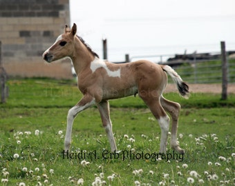 blank note cards, photo cards, Paint foal, Horse note cards, photo note cards, horse photo card, horse photography, foal note card, horses