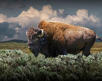 American Buffalo Bison in Yellowstone National Park in Wyoming An American Bison Wildlife Animal Landscape Nature Photograph
