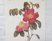 Redoutes Roses Book Page Plate Botanical Wall Art Burgundy Rosa Gallica Rosea Flore Simplici Rose