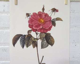Redoutes Roses Book Page Plate Botanical Wall Art Burgundy Rosa Gallica Flore marmoreo Rose