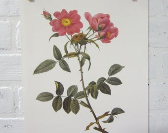 Redoutes Roses Book Page Plate Botanical Wall Art Burgundy Rosa Collina Monsonia Rose