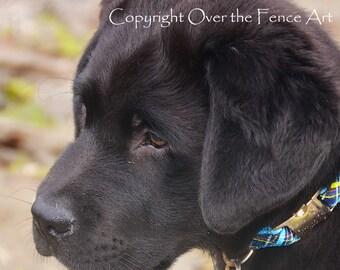 Black Labrador Puppy Fine Art Photo Greeting Card Black Lab Card  print