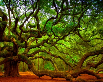 Instant Download, Charleston SC Art, Angel Oak Tree  Photography, Charleston SC Photos, Landscape Photos of South Carolina
