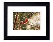 Framed Red Cardinal Perched on a Branch after the Rain, Limited Edition Bird Photography, 11x14 inch Ready to Hang Wall Decor, Holiday Gift