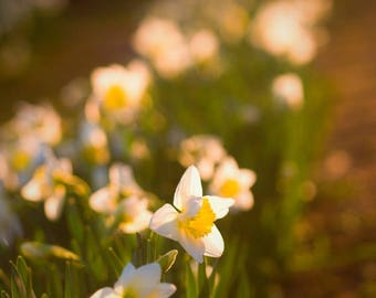 Daffodil art, Narcissus print, Nature photography, Flower print, Whimsical meadow, Impressionist art, Fairy garden, Macro photography