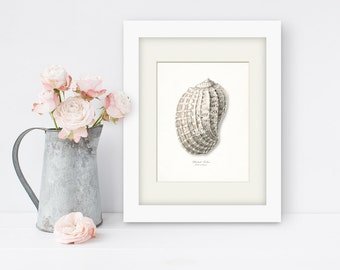 Coastal Decor Sea Shell Print No. 1 - Chestnut Turban Nautical Sea Shell Giclee Print 8x10