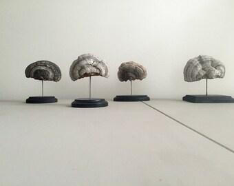 Shelf Mushroom - Mounted