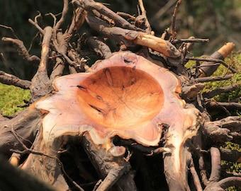 Eiben Nest / Yew nest