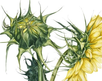 Original Watercolour Painting, Sunflowers, Botanical watercolor, Botanical illustration, Marie Burke Art