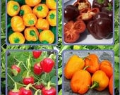 Mini Sweet Pepper Mix Seeds Open Pollinated Non-GMO Naturally Grown Open Pollinated