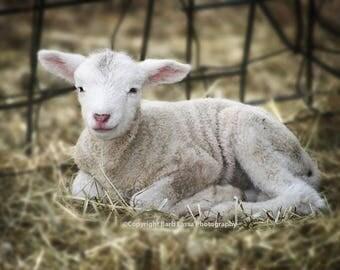 Lamb, newborn, sheep, pink, wool, spring, Dorset, farm, rural, lambing, fine art, photograph, Barb Lassa