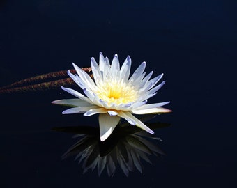 White Water Lily- horizontal (FREE SHIPPING in the U.S. only)