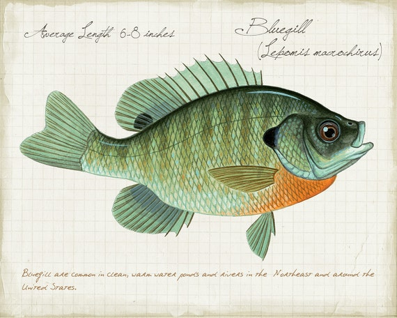 Bluegill Sunfish - 8 x10 inch open edition print by Matt Patterson, natural history, cabin decor, fish prints