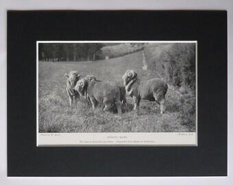 1901 Antique Natural History Print of Horned Merino Rams, Spanish Sheep Decor, Available Framed, Wool Art, Australian Wall Art, Farming Gift