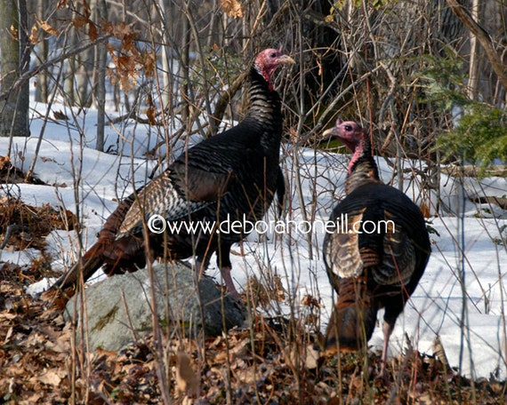 "Wildlife Animal Photography wild turkeys New England birds wildlife nature fall autumn ""Wild New England Turkeys"""