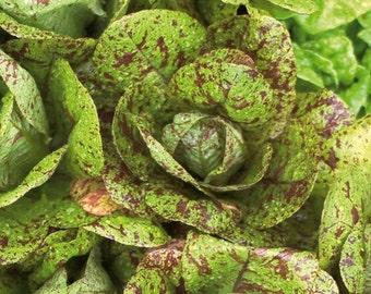 VL) SPECKLES-BUTTERHEAD Lettuce~Seeds!!~~Little Freckled Heads!