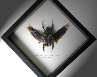 Huge Real Beetle Goliathus Conspersus Female Framed In Museum Quality Shadowbox