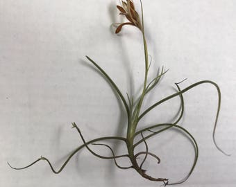250+ Tillandsia Recurvata Air Plants Live & Healthy! Grown In Florida!  FREE SHIPPING!