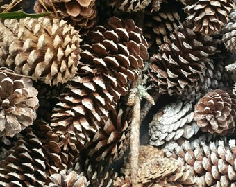 Pinecone photograph; digital picture of pinecones