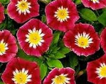 Morning Glory- Ensign Red- 50 seeds