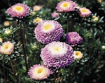 Aster- Pompon- Light Blue  - 50 seeds each pack