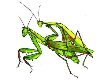 Watercolor Praying Mantis Love card