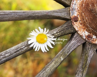 Daisy in Old Wooden Wheel Original Photograph