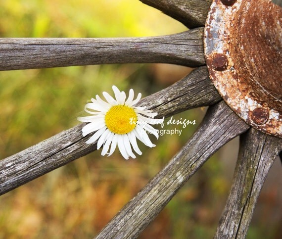 Daisy in Old Wooden Wheel Original Photograph 5x7 8x10 print 11x14 standout