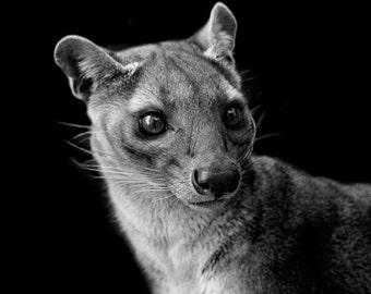 Fossa Black and White Photo, Exotic Wildlife Fine Art Print, Madagscar Nature and Animal Home Decor, Wall Art