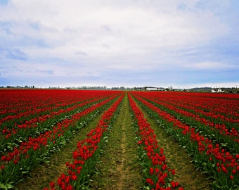 Rows of Red Tulips, Skagit Valley, WA