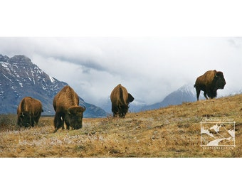 Buffalo, Bison, Mountain – Wildlife, Animal, Nature, Outdoor, Photograph, Home Décor, Wall Art, Picture, Prints, Canvas – Alberta, CA