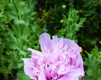 Purple Peony, Violet Poppy, Papaver Somniferum