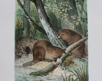 antique print beaver in the woods 1897