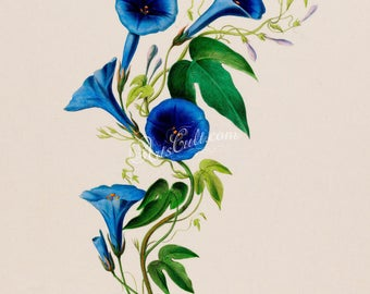 flowers-18032 - convolvulus blue flower image digital picture high resolution illustration from antique book public domain high resolution