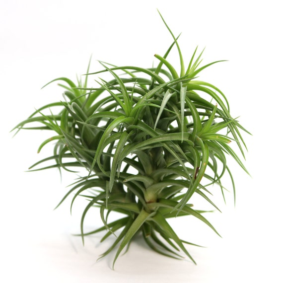Tillandsia Aeranthos Hybrid Air Plant Clump Large Hello
