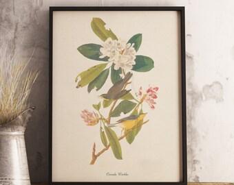 Canada Warbler Print:INSTANT DIGITAL DOWNLOAD Bird print, Antique Bird Painting