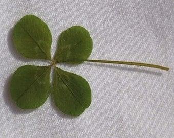 Lucky charm: four-leaf clover