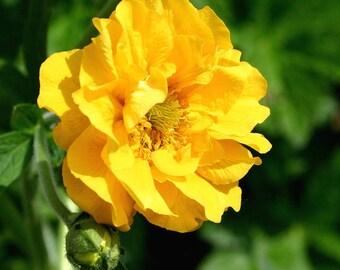 10 Yellow Lady Strathden GEUM Chiloense Flower Seeds *Comb S/H