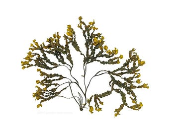 Bladderwrack (Fucus vesiculosus No.2) - seaweed, beachcombing, beach -  11 x 14 photograph