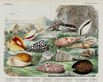 "1860 Rare Amazing Large Antique SEASHELLS print, fine lithograph, sea shells, marine shells, 156 years old, size 17'' x 13"" inches"