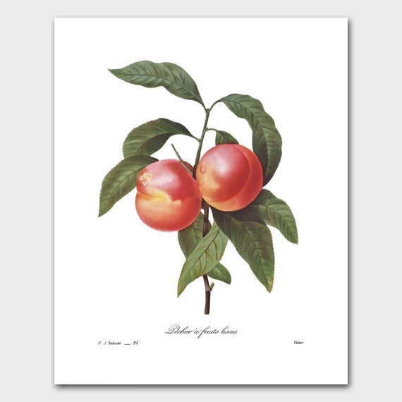 French Country Botanical Print (Kitchen Art, Fruit Wall Decor) Nectarines -- Pierre Redoute