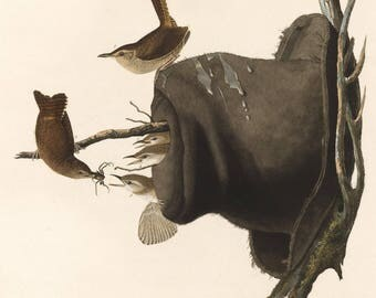 John James Audubon  Reproductions - House Wren, 1830. Fine Art Print.