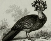 1849 Antique print of UPLAND BIRDS. Upland Hunting. Gamebirds. Pigeons. Birds. Ornithology. 167 years old lithograph.