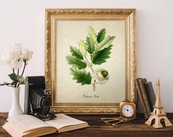 Botanical Print, Valonia Oak Leaves and Acorns Print, Home Decor, Antique Natural History Valonia Oak  Leaves and Acorns Art, Oak Tree FL089