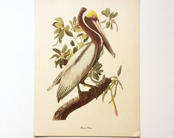 "Vintage John James Audubon Bird Print / Brown Pelican / Vintage Natural Science Home Decor / Art Illustration / Great for Framing / 9"" x 12"""