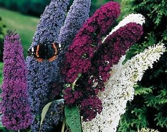 TS) MIXED BUTTERFLY Bush~Seed!~~~~~~Beautiful Buddlea!