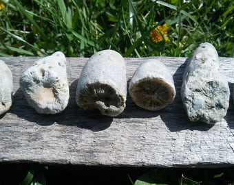Lot of 6 Natural Rugose Horn Coral Fossils from Dayton Ohio
