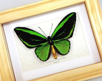 FREE SHIPPING Real Framed Ornithoptera Priamus Poseidon Common Green Birdwing Butterfly Taxidermy High Quality A1-/A-