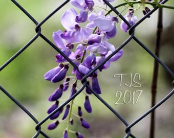 Wisteria Flower Photography with Chain Link Fence Urban Landscape Photography - Houston Texas - Purple Nursery Decor